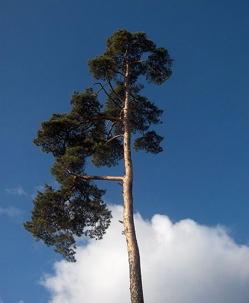Scot's pine Pinus sylvestris