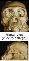 Australopithecus sediba lateral view