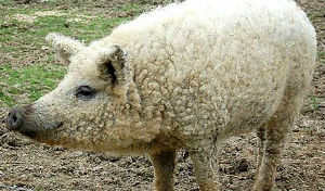 sheep-pig hybrid
