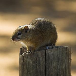 Smith's Bush Squirrel Paraxerus cepapi