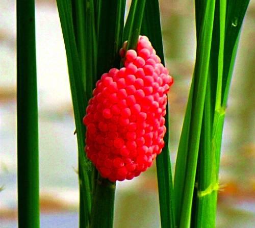 snail eggs