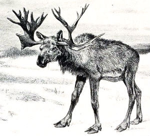 Stag-moose hybrid