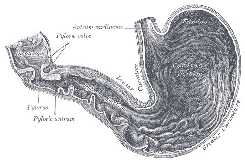picture of the human stomach