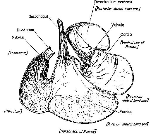 stomach of a babirusa