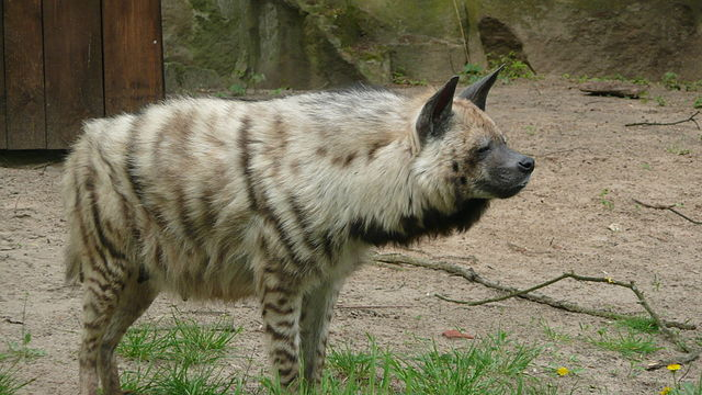 Hyena Dog Or Cat Related