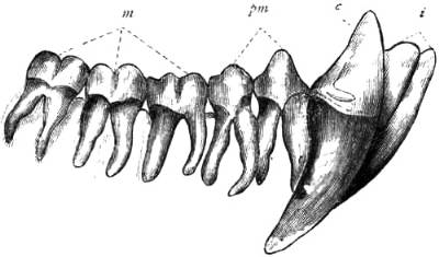 chimpanzee teeth