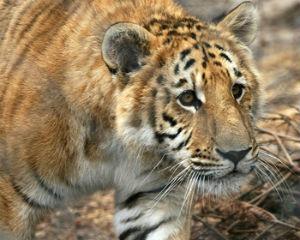 ti-liger