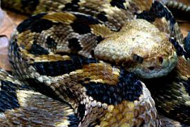Hemotoxiner for Serpente nero italiano