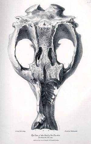 Skull of a  Toxodon found by Darwin  in Argentina