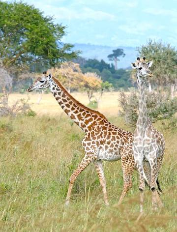 A picture of two giraffes in Mikumi National Park, Tanzania