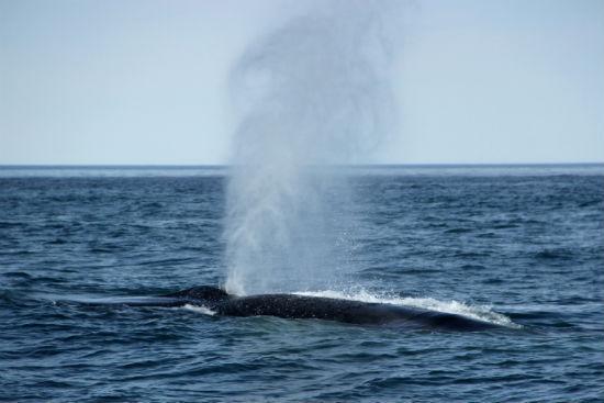 blue whale fin whale hybrid