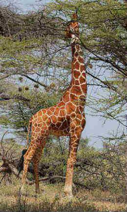 what do giraffes eat