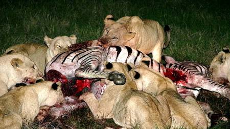 [Image: what-do-lions-eat-450px.jpg]