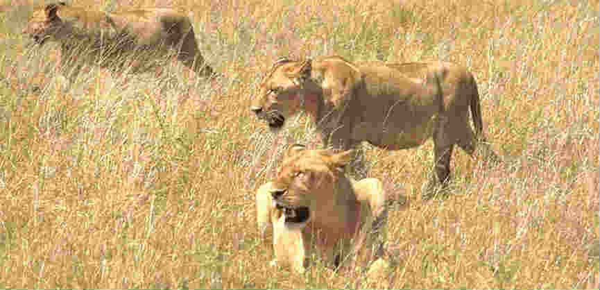 where do lions live about lions online biology dictionary