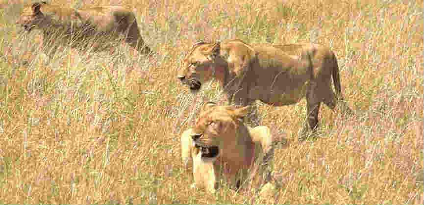 Where do lions live