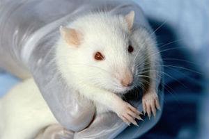 Rattus norwegicus
