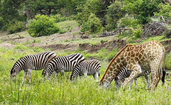 Giraffe and zebra drinking together