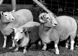 ancon sheep