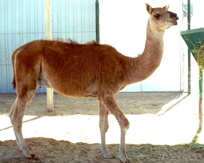 guanaco/dromedary camel hybrid