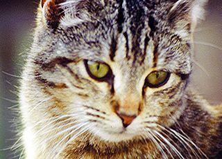 Cat-raccoon Hybrids - Mammalian Hybrids - Biology Dictionary