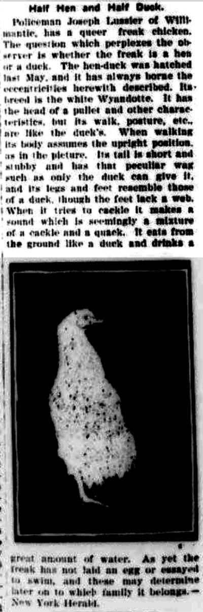 chicken-duck hybrid
