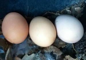 chicken-duck hybrid eggs