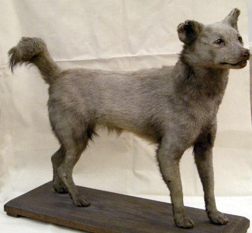 dog-fox hybrid