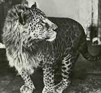 Leopon (Lioness x Leopard) - Mammalian Hybrids