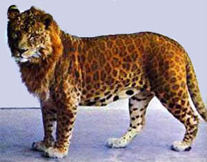 leopard and jaguar hybrid - photo #19