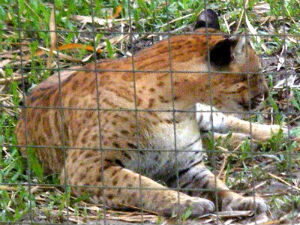 Cat Hybrids - Mammalian Hybrids - Online Biology Dictionary