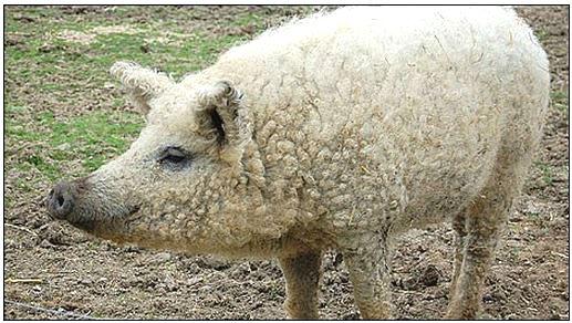 sheep-pig