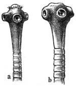 Tapeworm heads