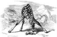 Picture of a giraffe splaying its legs and eating off the ground