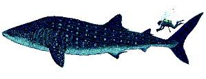 World's biggest fish