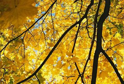 picture of a Yellow Maple in Autumn