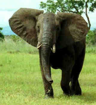 what is an indian elephants diet